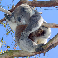 A resident of the Koala Conservation Centre